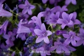 of bethlehem flower canula flowers italian bellflowers of bethlehem