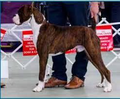 boxer dog shows 2016 results boxer diamond anniversary championship show 2016