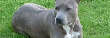 american pit bull terrier zucht 1 astc u2013 1 american staffordshire terrier club e v