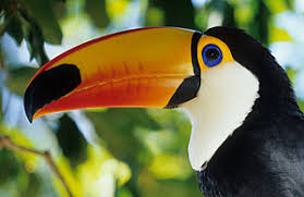 toco toucan images?q=tbn:ANd9GcS