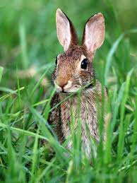 how to deal with problem rabbit in massachusetts wildlifehelp org