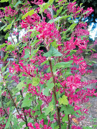 native plants in claremont pacific horticulture society a currant affair