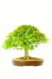classic specimen japanese maple acer bonsai tree