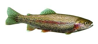 file trout jpg wikimedia commons