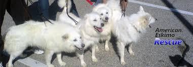 american eskimo dog breeders american eskimo rescue stl rescue rehab rehome