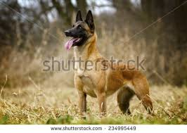 belgian sheepdog brown belgian malinois stock images royalty free images u0026 vectors