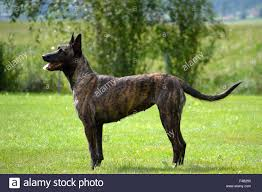 belgian shepherd 2 months belgian shepherd dogs stock photos u0026 belgian shepherd dogs stock