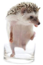 learn how to take care of pet hedgehogs including the african