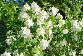 Scented Flowering Shrubs - flowers and weeds flowering shrubs to hide an ugly fence