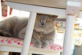 Cat Under Chair Cat On Chair Under Table Royalty Free Stock Photos Image 32925818