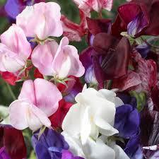 Sweet Pea Images Flower - peaceful valley sweet pea seeds