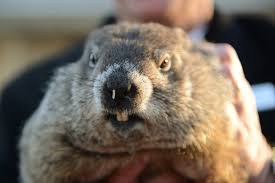 renowned groundhog punxsutawney phil does not see shadow predicts