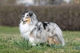australian shepherd eyesight the blue merle shetland sheepdog gene and what it means for dogs