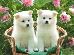 White Fluffy Chair Cute White Fluffy Puppies Sitting On Chair Imgur