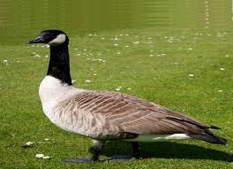 goose animals for children kids videos kindergarten preschool