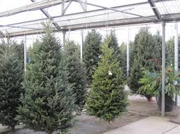 christmas trees fir balsam pine what are the differences