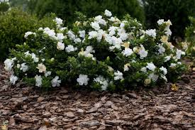 frost cold hardy gardenia sweet intoxicating sent snowy white