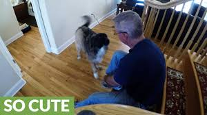 Laminate Flooring For Dogs Dog Does U0027happy Feet U0027 Dance For Walk Time Youtube