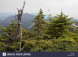 Pine Tree Flag Balsam Fir Trees Flag Trees On Whiteface Mountain In The