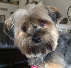 haircut styles for yorkies hairs picture gallery