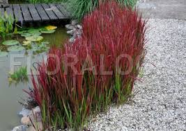 imperata cylindrica baron plants gardens