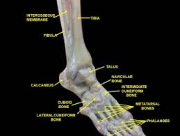 Talus Ligaments Distal Tibiofibular Syndesmosis Physiopedia