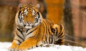 sleepy siberian tiger animal 4k hd desktop wallpaper for