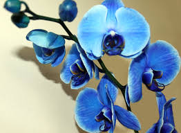blue orchid flower blue orchid by maliyaz on deviantart