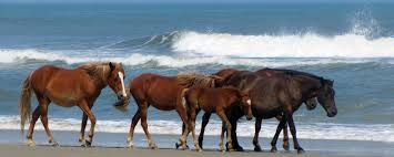 North Carolina wildlife tours images Corolla wild horses corolla wild horse fund corolla wild horse jpg