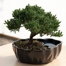 Small Desk Plants Zen Reflections Juniper Bonsai By 9greenbox