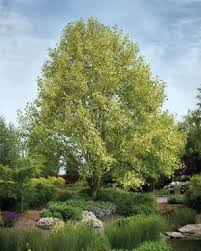Backyard Shade Trees Fast Growing Trees For Impatient Gardeners Fine Gardening