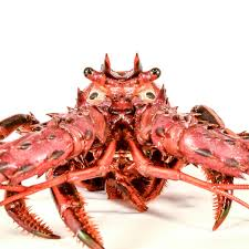 martini lobster why we don u0027t eat california spiny lobsters even though they taste