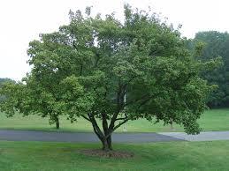 amur maple excellent medium sized tree for landscapes what