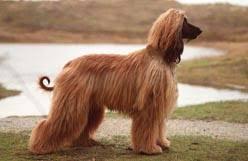 afghan hound poodle cross canadian kennel club club canin canadien