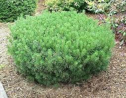 Bushes For Landscaping Florida Landscape Bushes Landscape Shrubs Pine Landscape Shrubs