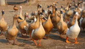 five things you never knew about ducks modern farmer