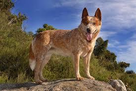 australian shepherd queensland heeler how big do red heeler dogs get cuteness