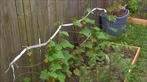 tree branch cucumber trellis or the easiest trellis you can make