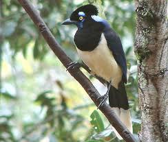 imagenes del animal urraca mi uruguay aves uruguayas la urraca