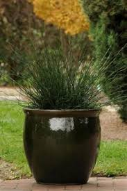 evergreen ornamental grasses for containers ornamental
