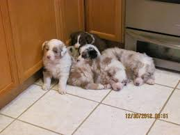 australian shepherd puppies 7 weeks asca australian shepherd puppies 7 weeks old cute stuff