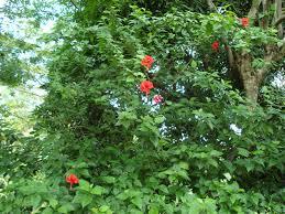benefits of hibiscus flower
