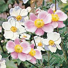 anemone japonica mixed seeds from mr fothergill u0027s seeds and plants