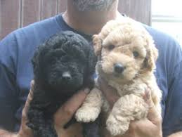 goldendoodle puppy virginia countryside doodles labradoodle goldendoodle breeders puppies