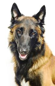 belgian shepherd ears 64 best dogs shepherds images on pinterest german shepherd