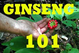 ginseng hunting 101 become a pro ginseng pinterest