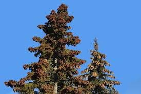 Cone Tree Free Photo Pine Cones Tree Evergreen Forest Free Image On