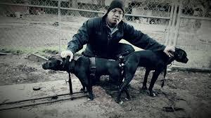 american pitbull terrier breeders st louis american pitbull terrier vs american bully thompson kennels
