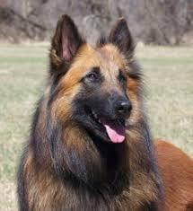 belgian sheepdog types tervuren dog photo dog breeds tervuren dog breeds dogs four