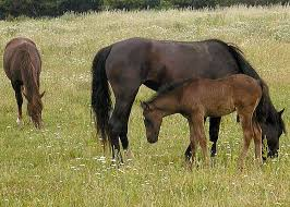 how far can a horse travel in a day images Horse breeding wikipedia jpg